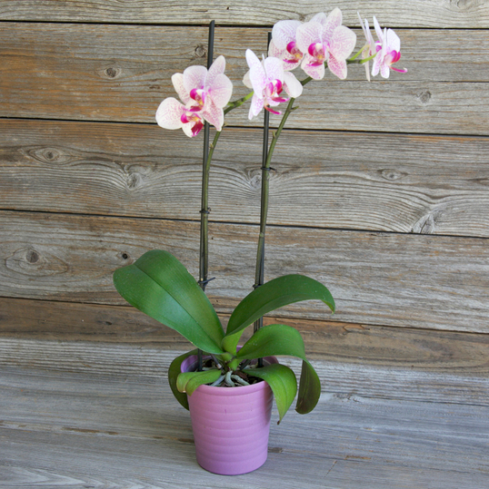 Tanger Outlets_Orchids